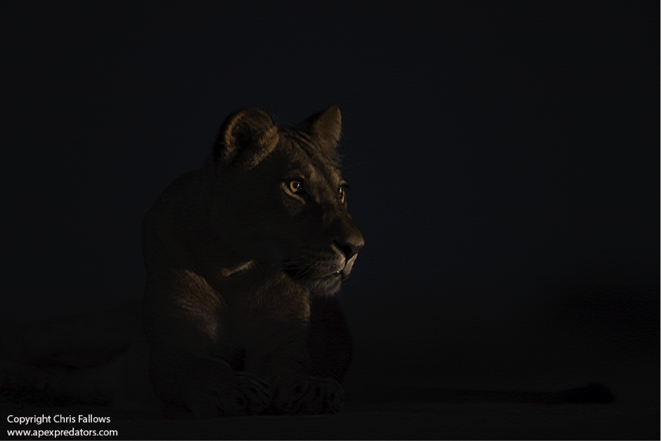 Night Lion